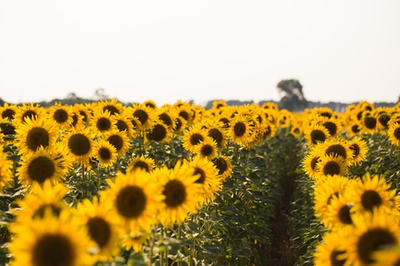 Field of sunflowers. Composition of nature. Reklamní fotografie - 84793234