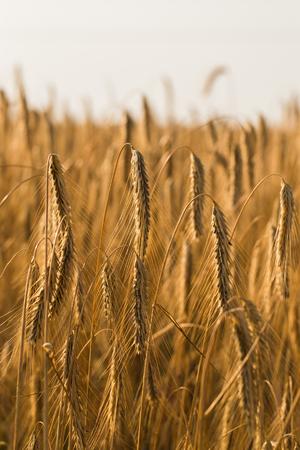 Weizenfeld . Ohren des goldenen Weizens hautnah Standard-Bild - 84571386
