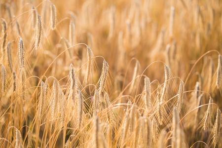 Weizenfeld . Ohren des goldenen Weizens hautnah Standard-Bild - 84599977