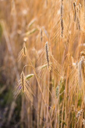 Weizenfeld . Ohren des goldenen Weizens hautnah Standard-Bild - 84621560