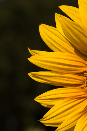 close up of sunflower on field Stock Photo