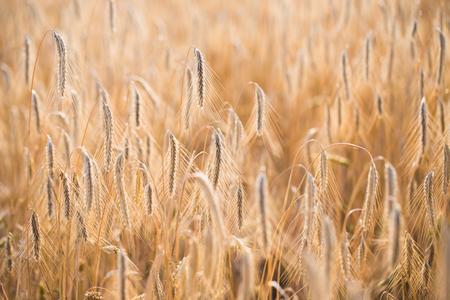 Weizenfeld. Ohren von goldenem Weizen close up Standard-Bild - 85655907