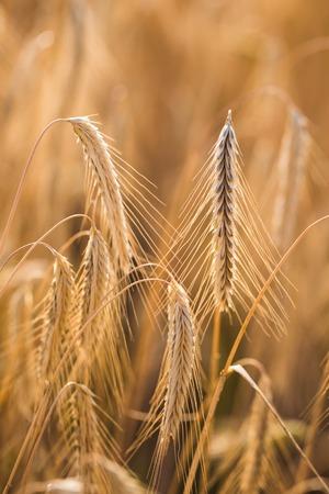 Weizenfeld. Ohren von goldenem Weizen close up Standard-Bild - 85546335