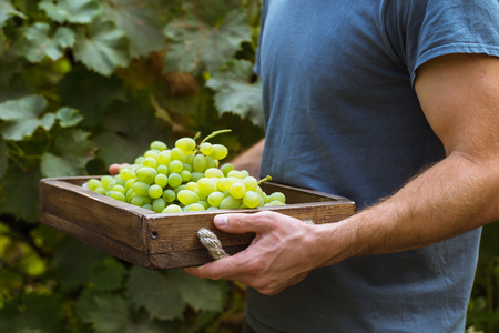 A man picking grapes in a vineyard Imagens