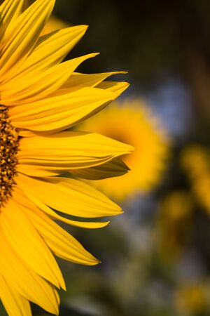 bee on flower: close up of sunflower on field Stock Photo