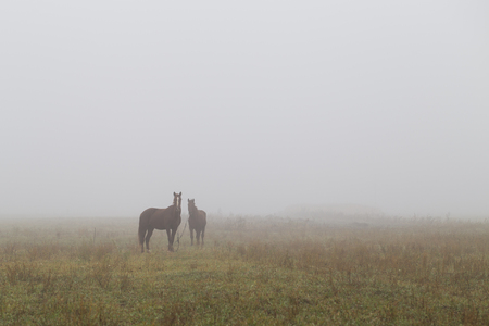 추운 안개 낀 아침에 목장에서 말