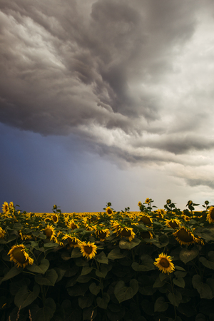 Sunflower field in the summer background blue sky Stock Photo