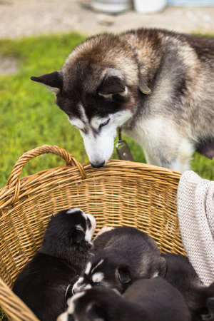 siberian husky mother and puppies
