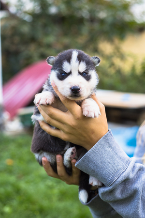 Young women holds her best friend little pet puppy of husky in her arms. love for dogs