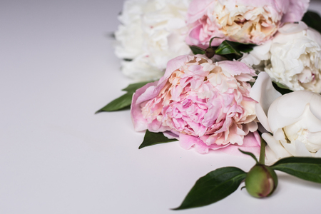 Primer plano de una hermosa flor de peonía rosa y blanca sobre fondo claro Foto de archivo