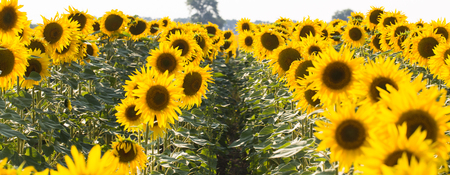 Field of sunflowers. Composition of nature. 版權商用圖片