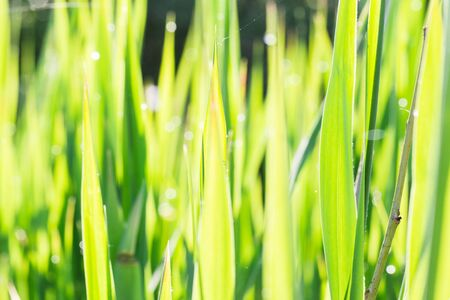 Close up of thick grass with water drops in the early morning