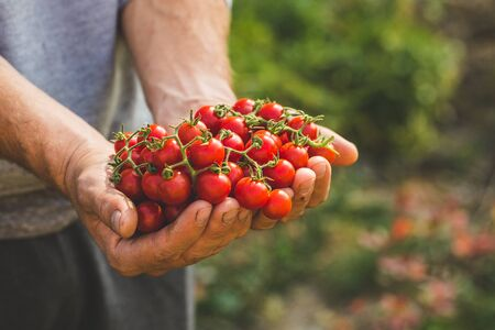 Agricultores con tomates frescos. Alimentos orgánicos saludables Foto de archivo