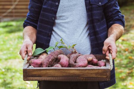 Organic vegetables. Farmers hands with freshly harvested vegetables. Fresh organic sweet potatoes.