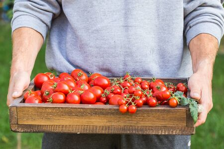 Farmers holding red tomatoes. Healthy organic foods Imagens