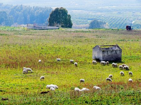 rural landscape with herd of sheeps photo