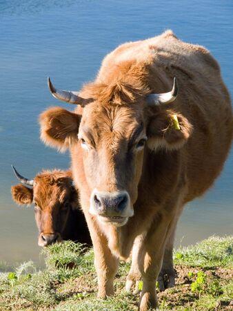 cud: cow that chew the cud