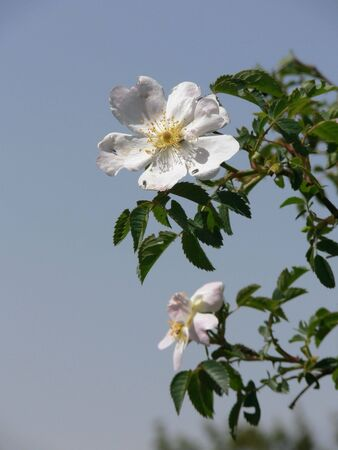 flower of rustic rose photo