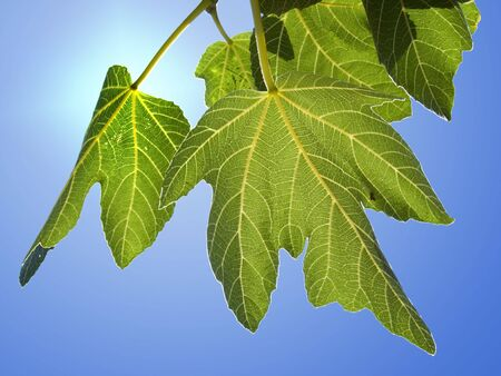 leaves of fig isolated on background photo