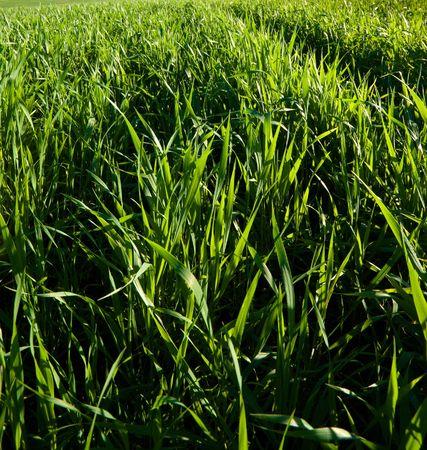 green meadow photo