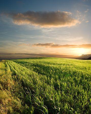 sunset on the field of grain photo
