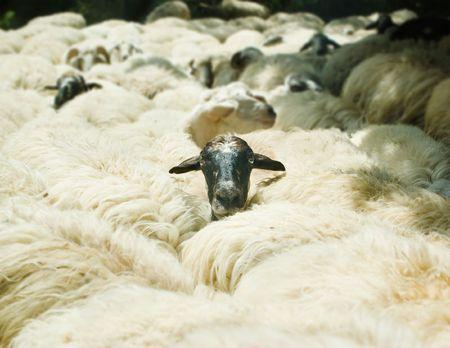 seguito: testa di ovini che vengono fuori mandria Archivio Fotografico