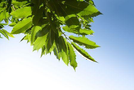 background of green chestnut leaves photo