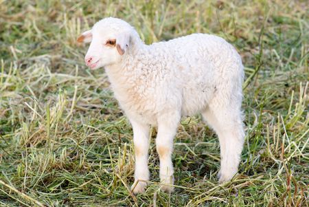 close view of white lamb in field photo