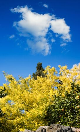 bloom of yellow mimosa in the blue sky photo