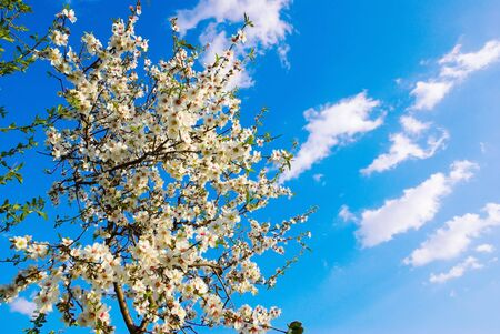 tender tenderness: spring blossom against blue sky Stock Photo