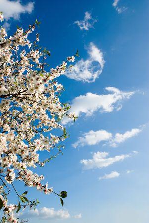 almond bud: spring blossom against blue sky Stock Photo