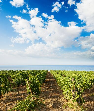 vineyard plain: landscaped for vineyard on the sea