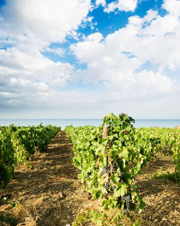 landscaped for vineyard on the sea photo