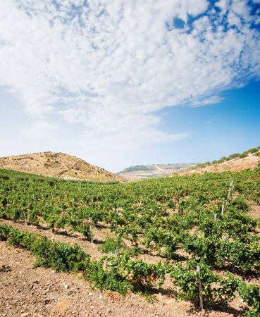 vineyard plain: landscaped for vineyard and white clouds in blue sky