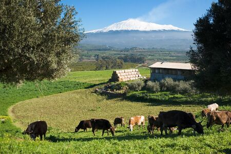 rural landscape with livestock and snowy volcano etna photo