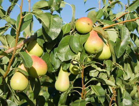 nervure: group ripe pears hang by branches Stock Photo