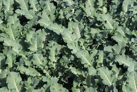 nervure: close up vegetables leaves in garden