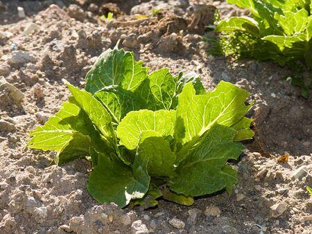 luxuriant: Unit of lettuce luxuriant  Stock Photo