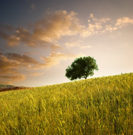olive farm: solitary tree in wheat field at sunset