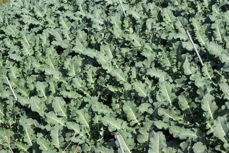 nervure: vegetables leaves in garden
