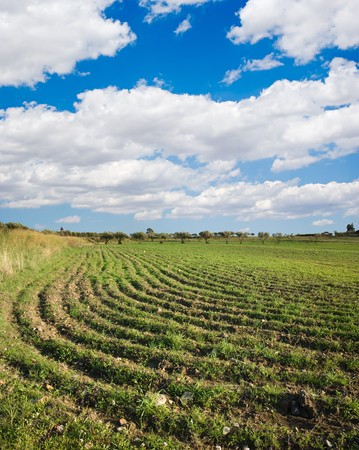 furrows: plowed field with young plants, blue sky and white clouds