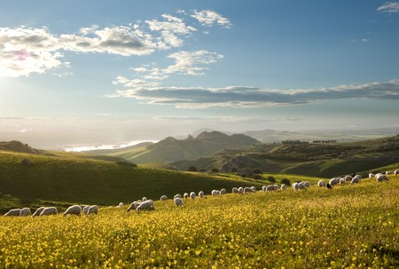 flock of sheep grazing in flowered field to sunrise Stock Photo - 4261406