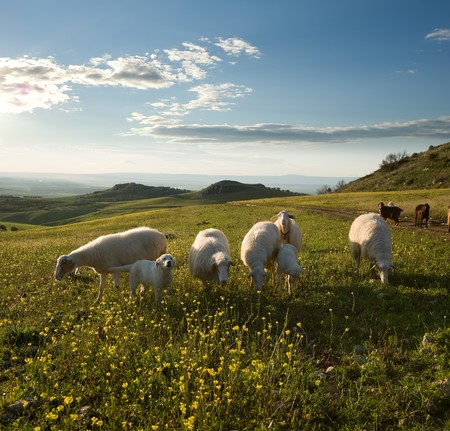 Group sheep and young dog in flowered field to sunrise Stock Photo - 4261418