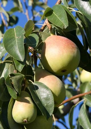 nervure: grupo peras maduras cuelgan de las ramas