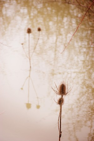 dry thistle reflected on stagnant pond  photo