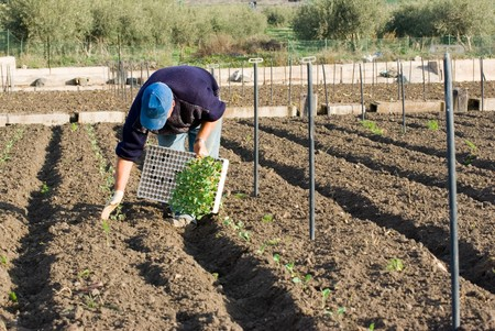 countryman placing young plants in land   photo