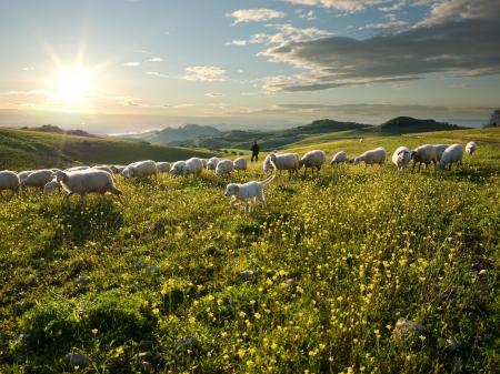 oveja: pastor con perros y ovejas que pastan en el campo de flores al amanecer Foto de archivo