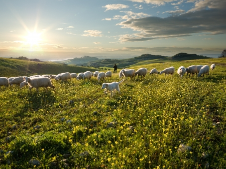 shepherd with dog and sheep that graze in flowered field at sunrise  Stock Photo