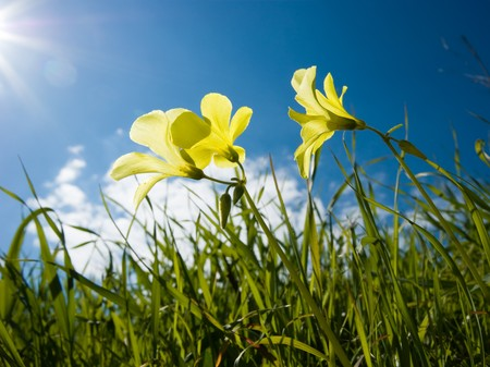 meadowland: Three yellow flowers of clover in a lawn Stock Photo
