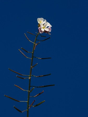 mustard plant: single rustic flower on background deep blue sky Stock Photo